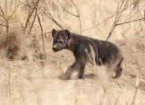 5241 - Spotted Hyena puppy appers