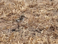5329 - Day old Capped Wheatear chick