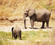 African Elephant and calf-3753