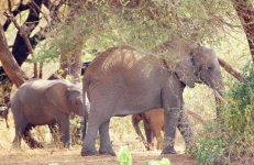 African Elephant family-3963