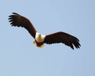 African Fish Eagle-3708