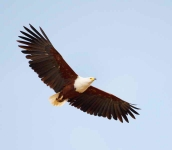 African Fish Eagle-3710