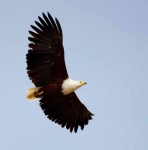 African Fish Eagle-3713