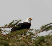 African Fish Eagle-3850