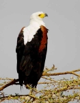 African Fish Eagle-3980