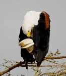 African Fish Eagle-3982