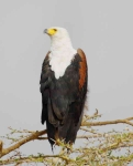 African Fish Eagle-3986