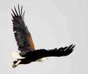 African Fish Eagle-3989