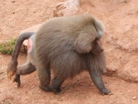Baboon - Male-2359