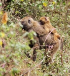 Baboon and baby-3439