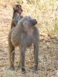 Baboon with baby-3899
