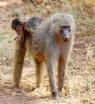 Baboon with passenger-3902