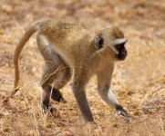 Black faced Vervet Monkey-3500