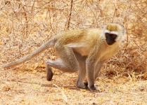 Black faced Vervet Monkey-3501