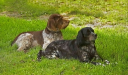 Brittany Spaniel and-WP6E1588