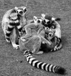 Bundle of Lemurs-BW 2290
