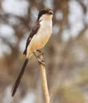 Common Fiscal Shrike-3772