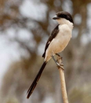 Common Fiscal Shrike-3773