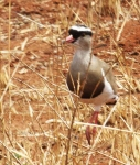 Crowned Plover-3768
