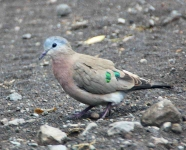 Emerald spotted Wood Dove -3382