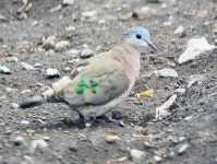 Emerald spotted Wood Dove -3384