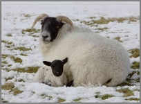 Ewe and Lamb - snow-10x7-201B1024