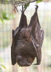 Fruit Bat - 2433