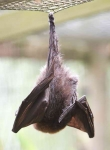Fruit Bat - 2434