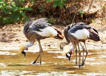 Grey Crowned Crane family-3961