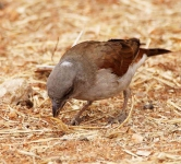Grey Headed Sparrow-3496