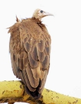 Hooded Vulture-4168