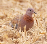 Laughing Dove-3635