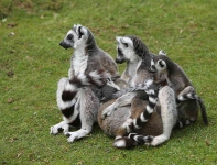 Lemurs-How many-2288
