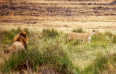 Lion - Time for food-4122
