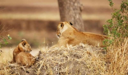 Lioness and cub-3672