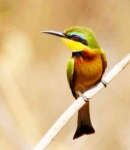 Little Bee Eater-3544