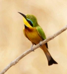 Little Bee Eater-3549