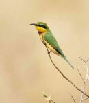 Little Bee Eater-3750