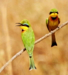 Little Bee Eaters-3546
