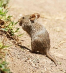 Mouse-4051