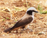 Northern White crowned Shrike-3536