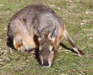 Patagonian Cavy - 8194