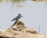 Pied Kingfisher-3765