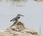 Pied Kingfisher-3767