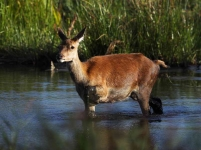 Red Deer Hind wading_P6E5288-1