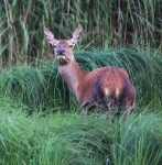 Red Deer Hind_P6E4634-1