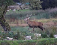 Red Deer Stag_P6E6189-1