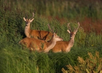 Red Deer Stags_P6E5063-1