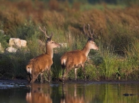 Red Deer Stags_P6E5067-1