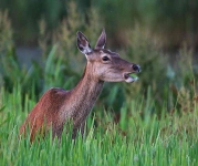 Red Deer hind eating Flag Iris seed pods_P6E4224-1